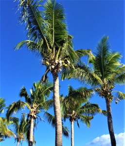 Loving the amount of coconut trees in Fiji
