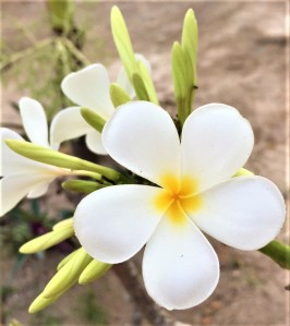A true treasure of Nature - the Frangipani Flower in Fiji by Lena Pfitzner